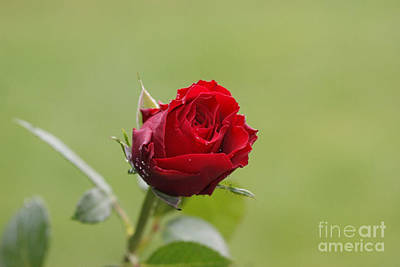 Red Rose Bud 2 Print by Carol Lynch