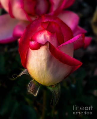 Photograph - Red Rose Bud by Robert Bales