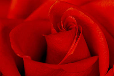 Photograph - Red Rose by Carol Erikson