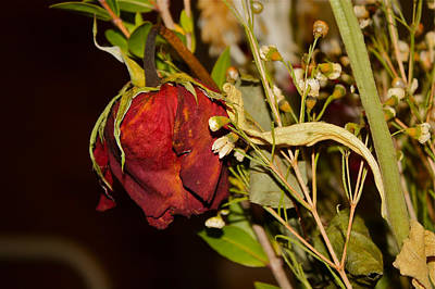 Photograph - Red Rose by Carol Tsiatsios