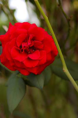 Photograph - Red Rose by Carole Hinding