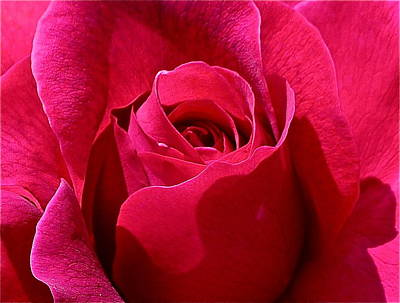 Photograph - Red Rose Close Up by Denise Mazzocco