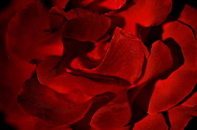 Photograph - Red Rose Close Up by Henrik Petersen