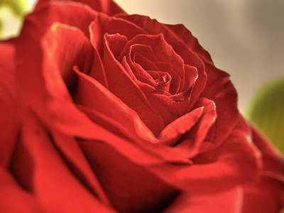 Red Rose Closeup Art Print