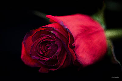 Crystal Wightman Rights Managed Images - Red Rose Royalty-Free Image by Crystal Wightman