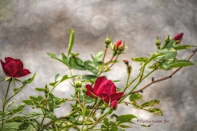 Photograph - Red Rose by Darlene Bell