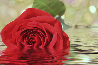Rose Photograph - Red Rose by Denise Trocio