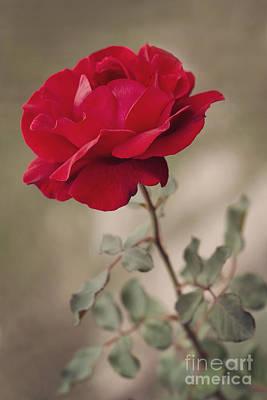 Flower Design Photograph - Red Rose by Diana Kraleva