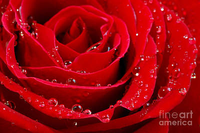 Water Droplets Photograph - Red Rose by Elena Elisseeva