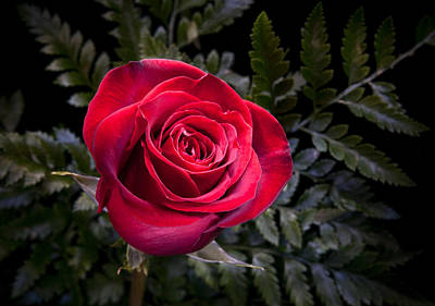 Photograph - Red Rose by Fred LeBlanc