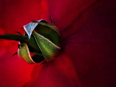 Photograph - Red Rose by Henrik Petersen