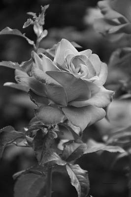 Red Rose In Bw Art Print by Thomas Woolworth