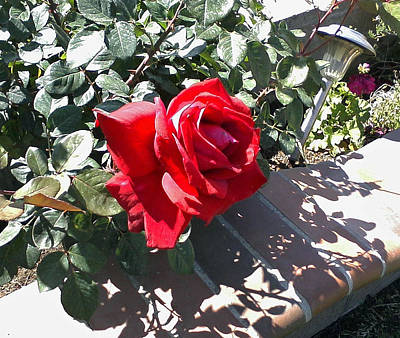 Photograph - Red Rose In Shadow by Shan Ungar