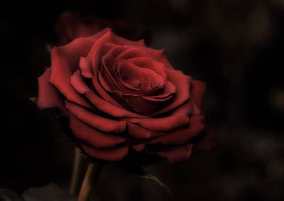 Floral Photograph - Red Rose by Jolanta Zychlinska