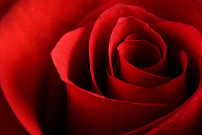 Red Rose Macro Print by Johan Swanepoel