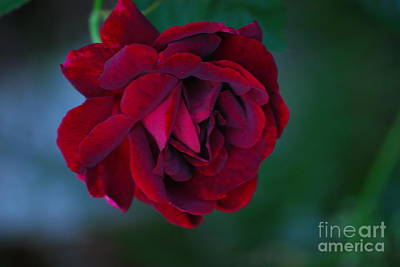 Photograph - Red Rose by Mark McReynolds