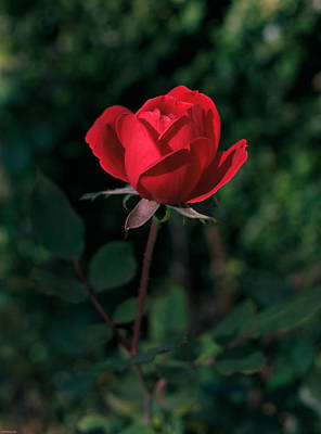 Photograph - Red Rose Of Love by Kathleen Scanlan