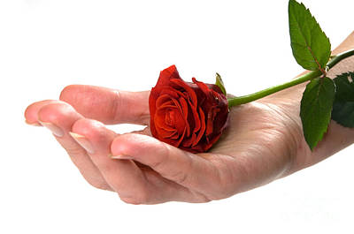 Flower Photograph - Red Rose On Hand Conceptual by Michal Bednarek
