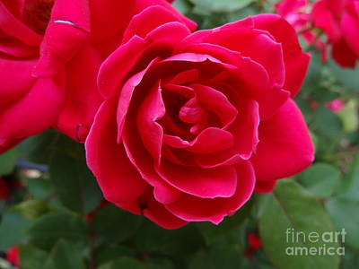 Photograph - Red Rose by Rod Ismay