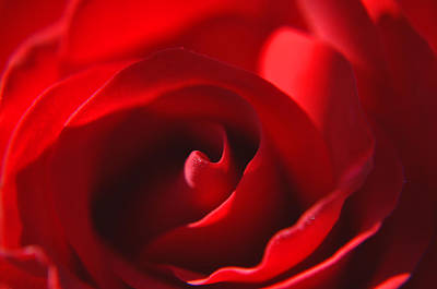 Print featuring the photograph Red Rose by Tikvah's Hope