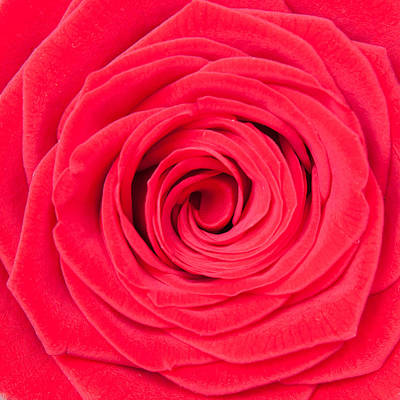 Photograph - Red Rose by Semmick Photo