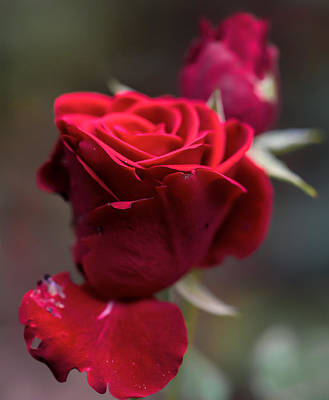 Photograph - Red Rose Sep by Leif Sohlman