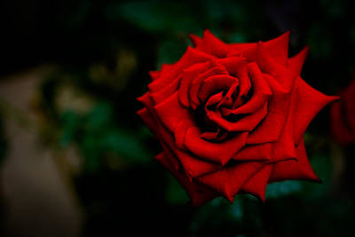 Red Rose Singapore Flower Art Print by Donald Chen
