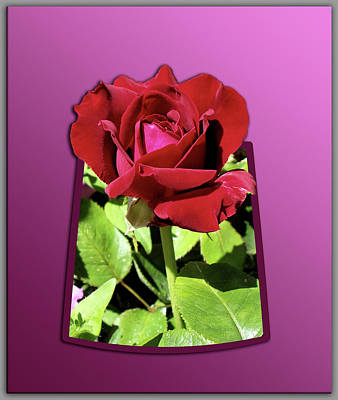 Red Rose Art Print by Thomas Woolworth