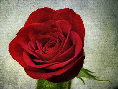 Photograph - Red Rose V2 by Ian Mitchell