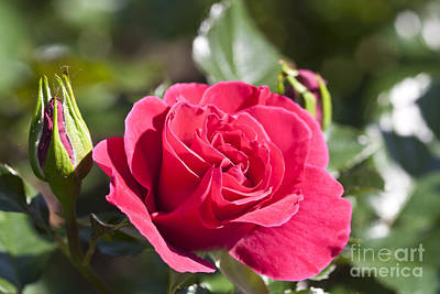 Red Rose With Blurred Garden Background Of Leaves Original