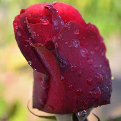 Photograph - Red Rose With Dew 1.4 by Cheryl Miller