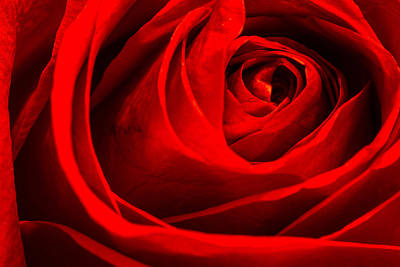 Photograph - Red Rose by Zev Steinhardt