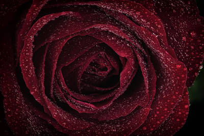 Photograph - Red Rose by Zoe Ferrie