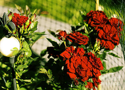 Photograph - Red Roses And Netting by Donna L Munro