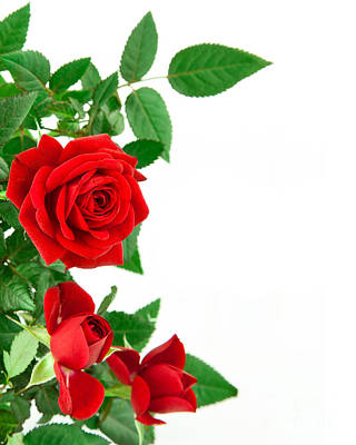 Red Roses Flower Print by Boon Mee