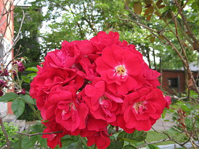 Red Roses Galore  Original