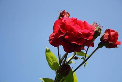 Photograph - Red Roses With Blue Sky Background by Tracey Harrington-Simpson