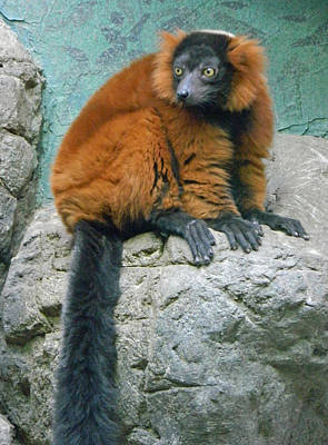 Red-ruffed Lemur Photograph - Red Ruffed Lemur by Emmy Vickers