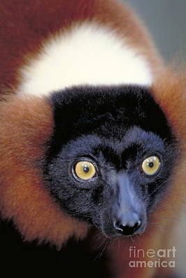Red Ruffed Lemur, Madagascar Art Print by Art Wolfe