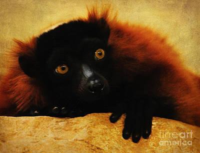 Red Ruffed Lemur Art Print by Olivia Hardwicke