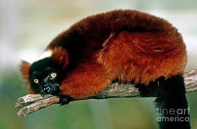 Red Ruffed Lemur Varecia Variegata Rubra Art Print by Millard H. Sharp