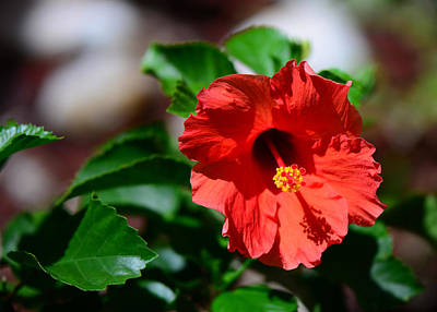 Photograph - Red Ruffled Hibiscus by Connie Fox