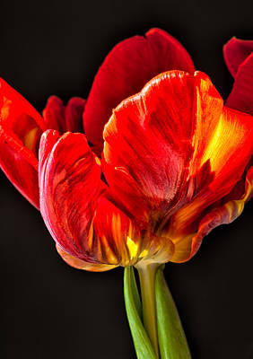 Photograph - Red Ruffles by Joan Herwig
