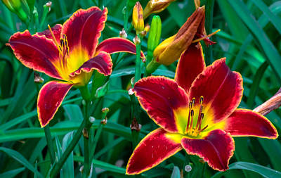 Red Rum Daylilies Art Print