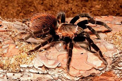 Tarantula Photograph - Red Rump Tarantula, Brachypelma Vagans by David Northcott