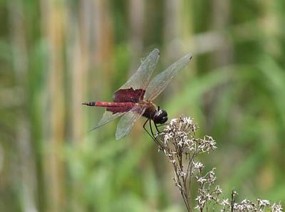 Photograph - Red Saddlebag Dragonfly by Peggy King