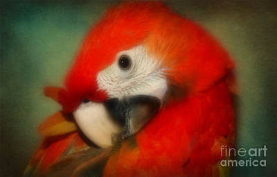 Photograph - Red Scarlet   Macaw Parrot Sammy by Peggy Franz