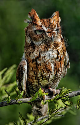Photograph - Red Screech Owl by Janet Maloy