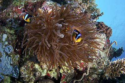 Clown Fish Photograph - Red Sea Anemone Fish by Science Photo Library