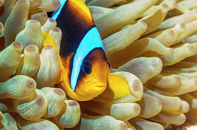 Sea Anemone Photograph - Red Sea Anemonefish by Georgette Douwma